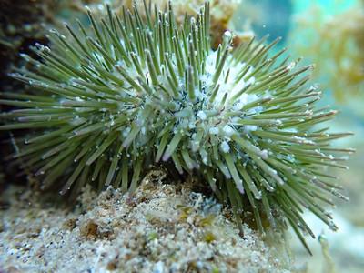 Jewel Urchin (Lytechinus williamsi)