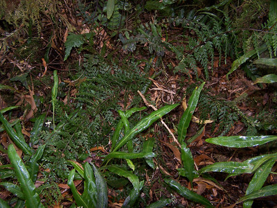 "Asplenium haleakalense with Elaphoglossum wawarae (HLO000377) This image is licensed under the Creative Commons Attribution-NonCommercial 3.0 Unported license.  You may share and adapt this work, but only with attribution (""by Hank L. Oppenheimer"") and only for non-commercial purposes unless permission is obtained from the copyright-holder (contact webmaster@hear.org)."