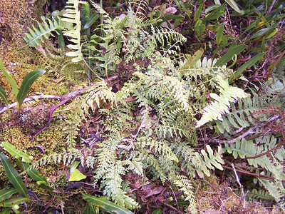 "Asplenium haleakalense (with Polypodium pellucidum and Elaphoglossum wawrae) (Maui) (HLO000378) This image is licensed under the Creative Commons Attribution-NonCommercial 3.0 Unported license.  You may share and adapt this work, but only with attribution (""by Hank L. Oppenheimer"") and only for non-commercial purposes unless permission is obtained from the copyright-holder (contact webmaster@hear.org)."