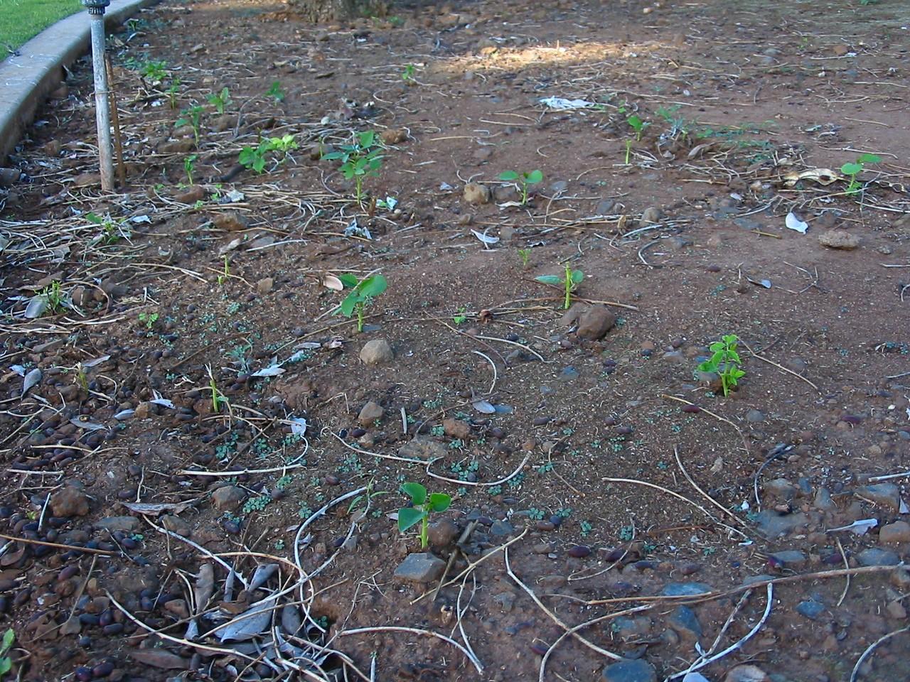 168696301_! erythrina crista-galli seedlings under cultivated trees kahului maui hawaii 20021027_154-5470_img