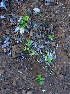 168694738_! erythrnina crista-galli seedlings under cultivated trees kahului maui hawaii 20021027_154-5469_img