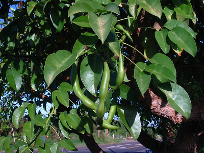 168695628_! erythrina crista-galli fruits kahului maui hawaii 20021027_154-5452_img
