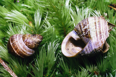 Native Hawaiian snails predated by Euglandina rosea (Spiraxidae) (L) and rats (Rattus sp.) (R)