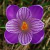 Spring Crocus, Crocus vernus subsp vernus 6. 11th March 2017. Inkpen Crocus Fields, Inkpen, West Berkshire.