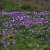 Spring Crocus, Crocus vernus subsp vernus 2. 11th March 2017. Inkpen Crocus Fields, Inkpen, West Berkshire.