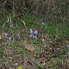 Crocus pulchellus 3. 31st October 2012. Mount Belles, Thessaloniki, just north of Lake Kerkini, Greece.