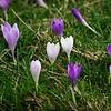 Spring Crocus, Crocus vernus subsp vernus 3. 11th March 2017. Inkpen Crocus Fields, Inkpen, West Berkshire.