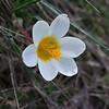 Sieber's Crocus, Crocus sieberi subsp. sieberi. 3. 3rd April 2012. Omalos Plateau, Crete