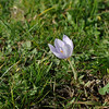 Crocus pulchellus 4. 31st October 2012. Mount Belles, Thessaloniki, just north of Lake Kerkini, Greece.