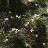 Sieber's Crocus, Crocus sieberi subsp. sieberi. 5. 3rd April 2012. Omalos Plateau, Crete