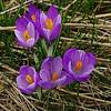 Spring Crocus, Crocus vernus subsp vernus 4. 11th March 2017. Inkpen Crocus Fields, Inkpen, West Berkshire.