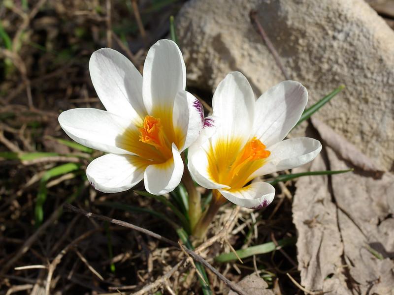 Sieber's Crocus, Crocus sieberi subsp. sieberi. 1. 3rd April 2012. Omalos Plateau, Crete