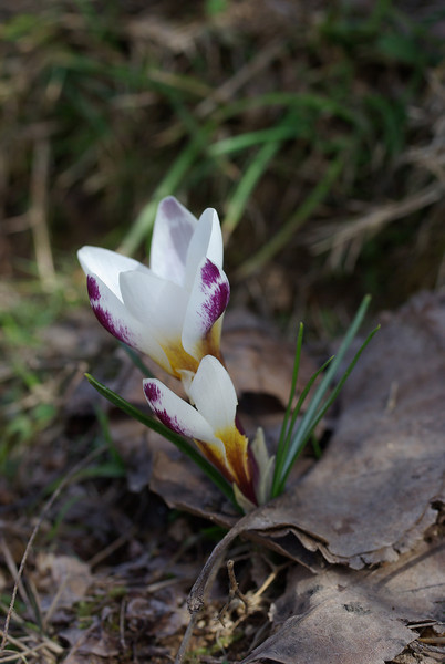 Sieber's Crocus, Crocus sieberi subsp. sieberi. 2. 3rd April 2012. Omalos Plateau, Crete