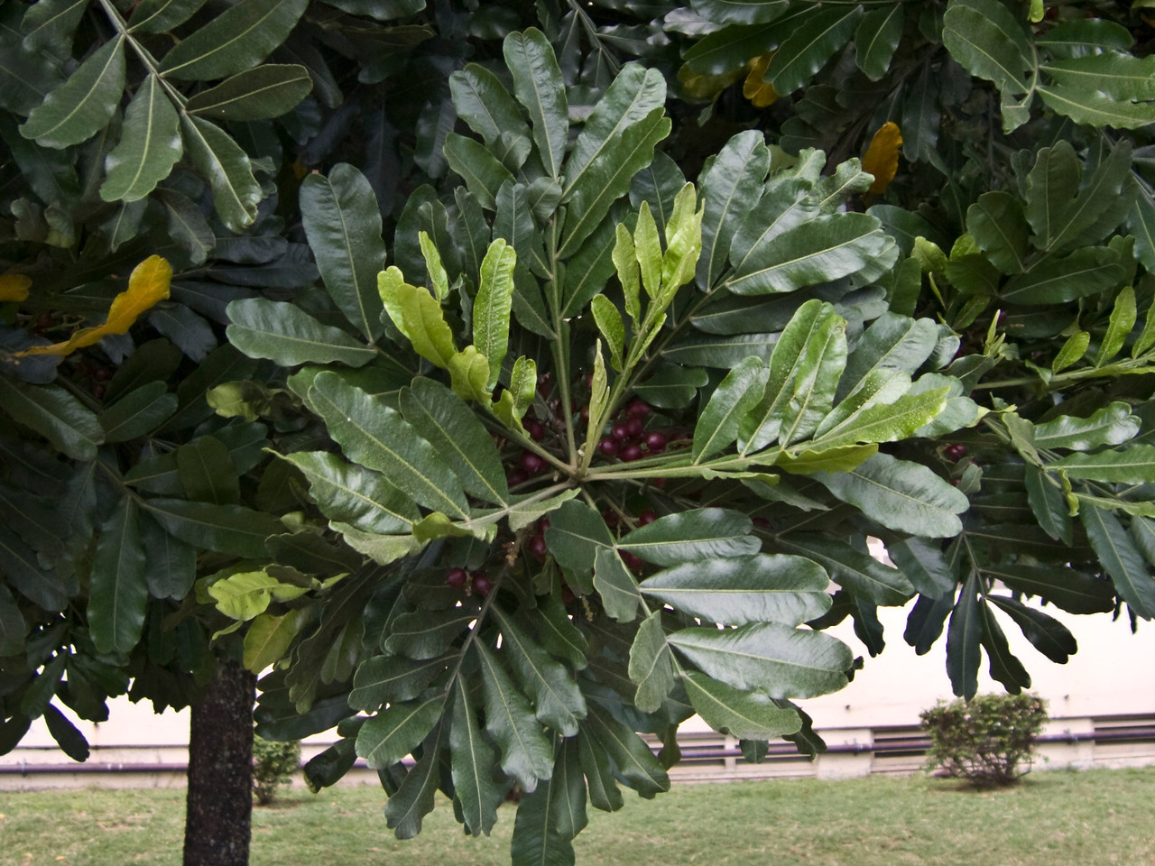Filicium decipiens (Sapindaceae) (leaves) planted ornamentally in Honolulu.