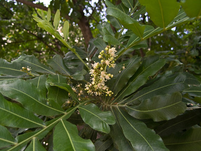Filicium decipiens (Sapindaceae) (flowers & leaves) planted ornamentally in Honolulu.