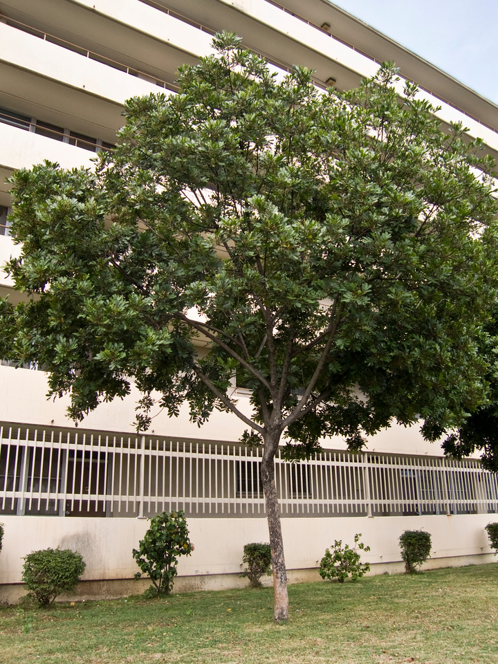 Filicium decipiens (Sapindaceae) (habit) planted ornamentally in Honolulu.