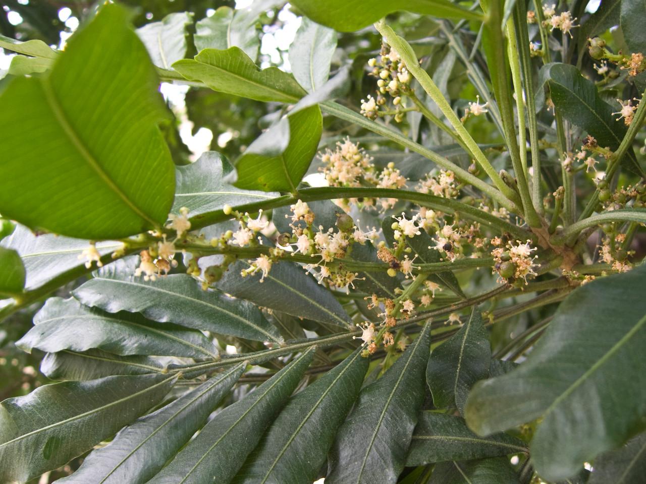 Filicium decipiens (Sapindaceae) (flowers & leaves) planted ornamentally in Honolulu.