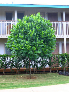 ! Filicium decipiens cultivated on hotel grounds Kauai 20021006_144-4463_img