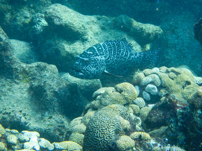 Black Grouper(Mycteroperca bonaci)