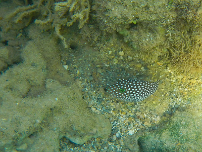Hawaiian Whitespotted Toby (Canthigaster jactator)