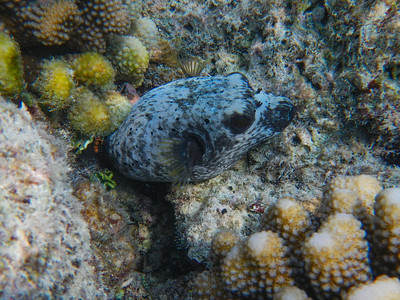 Blackspotted Pufferfish (Arothron nigropunctatus)
