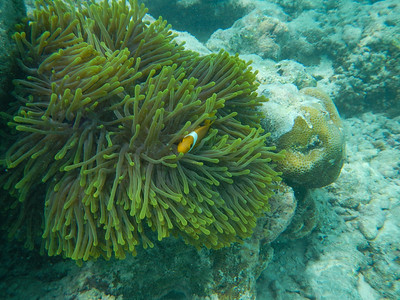 Blackfoot Anemonefish (Amphiprion nigripes)