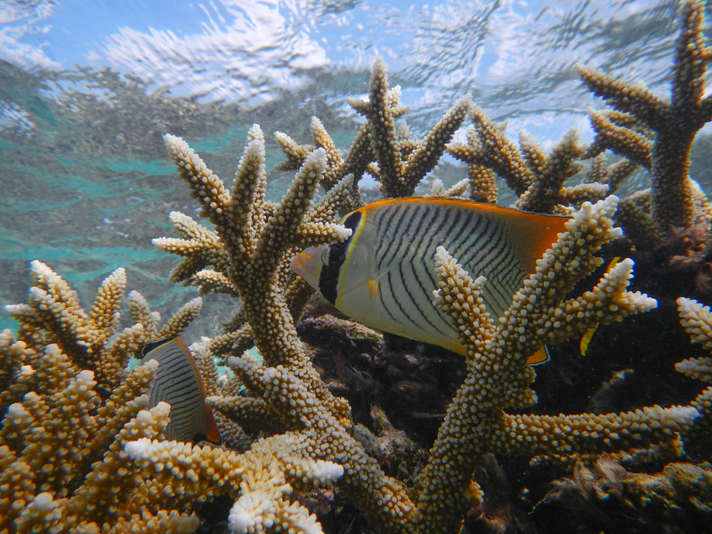 Chevroned Butterfly Fish (Chaetodon trifascialis)