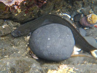 Penpoint Gunnel (Apodichthys flavidus)