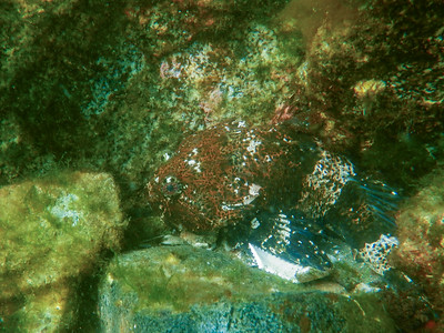 Cabezon (Scorpaenichthys marmoratus)