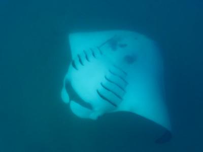 Reef Manta Ray (Mobula alfredi)