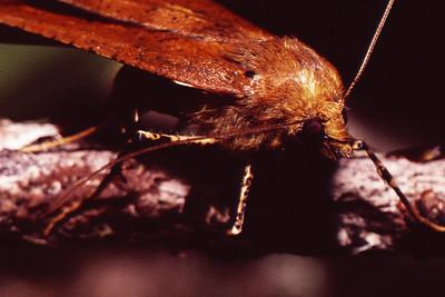 unidentified Geometridae (Lepidoptera), West Maui
