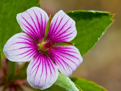 Flower of Geranium multiflorum, an endangered species, in Waikamoi Preserve  Hawaiian geraniums are woody-stemmed (vs. herbaceous, as are all other of the world's geraniums).  Copyright (c) 2011 by Philip A. Thomas (imagesbypt@philipt.com)