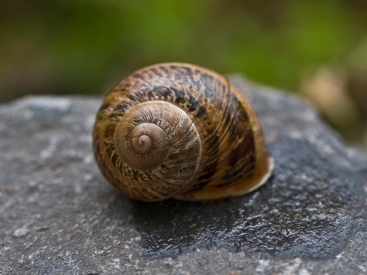 Helixaspersa (European brown snail) in Kula (Maui, Hawaii) (14July2008) (photoID:20080714_000418) Copyright ©2008 by Philip A. Thomas.  Contact imagesbypt@philipt.com for permission to use.