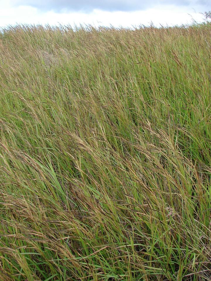 Pure stand of Heteropogon contortus (Poaceae) (pili grass) at Puu Moaulanui Kahoolawe February 09 2008 starr-080209-2657