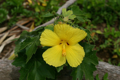 hibiscus brackenridgei (endangered) (hawaii state flower) - wailea point - 20050318_0092