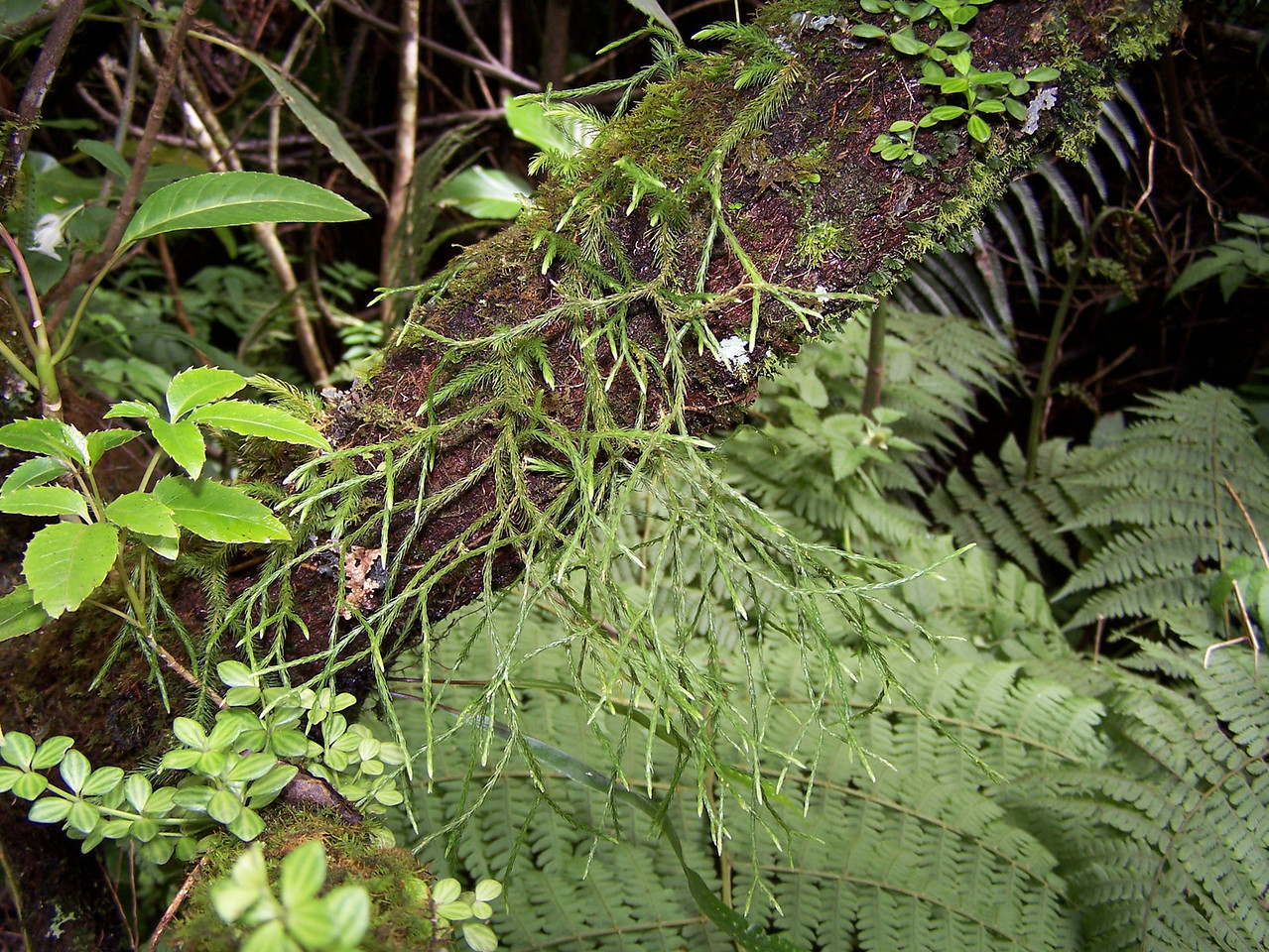 "Huperzia filiformis (Molokai) This image is licensed under the Creative Commons Attribution-NonCommercial 3.0 Unported license.  You may share and adapt this work, but only with attribution (""by Hank L. Oppenheimer"") and only for non-commercial purposes unless permission is obtained from the copyright-holder (contact webmaster@hear.org)."