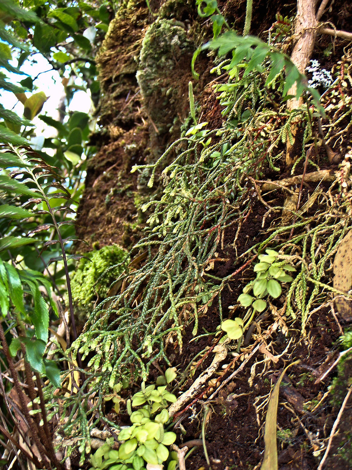 "Huperzia mannii (East Maui)This image is licensed under the Creative Commons Attribution-NonCommercial 3.0 Unported license.  You may share and adapt this work, but only with attribution (""by Hank L. Oppenheimer"") and only for non-commercial purposes unless permission is obtained from the copyright-holder (contact webmaster@hear.org)."