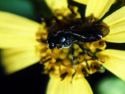 Hylaeus sp. (Hymenoptera: Colletidae) on Lipochaeta lobata, West Maui