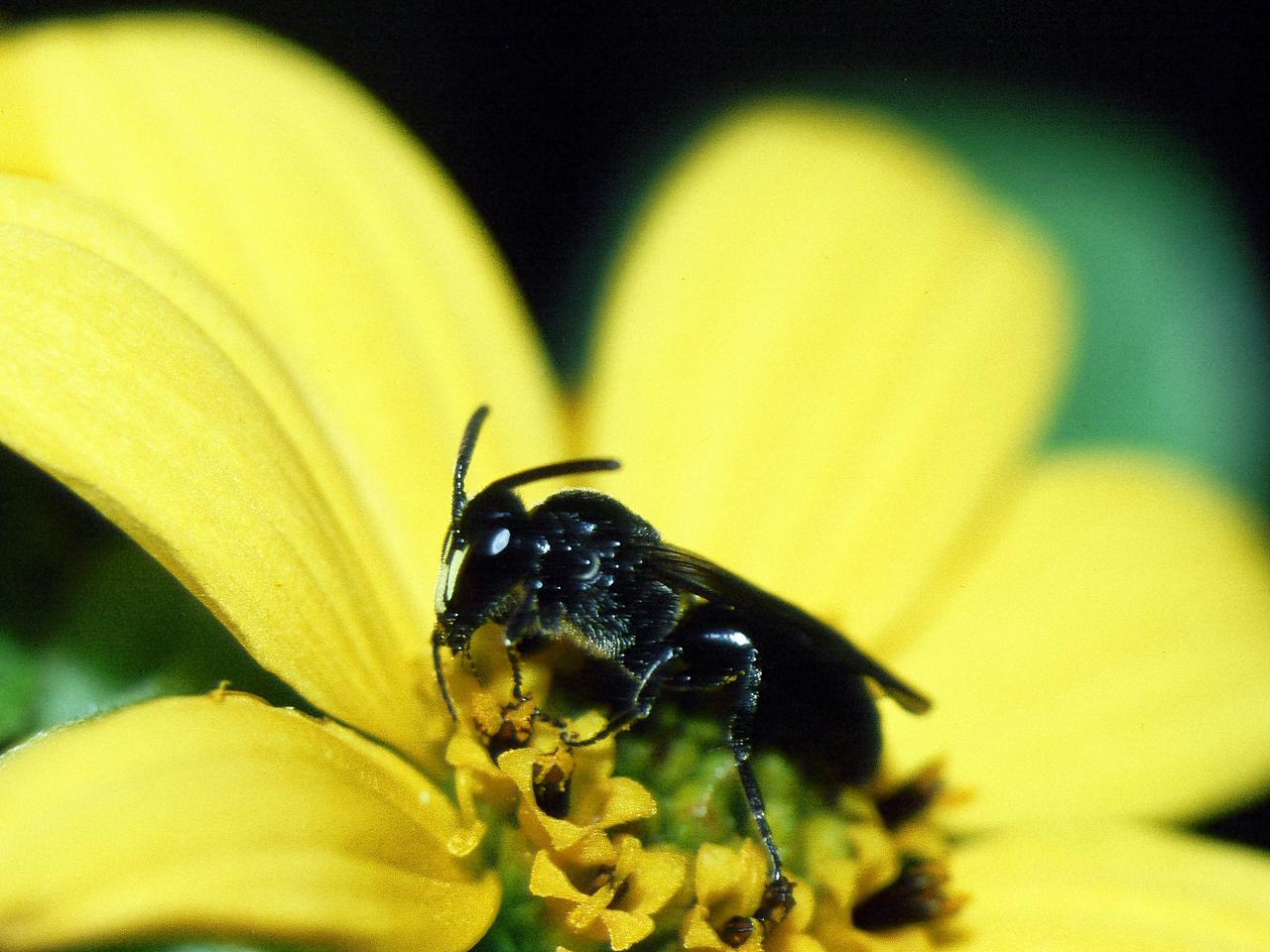 Hylaeus sp. (Hymenoptera: Colletidae) on Lipochaeta lobata, West Maui