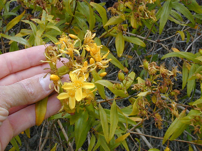 Hypericum canariense, an invasive species in California.PhotoID=JohnWadeDSCN1238For information about permission to use this image, contact: webmaster@hear.org