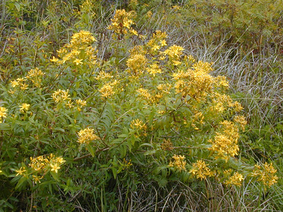 Hypericum canariense, an invasive species in California.PhotoID=JohnWadeDSCN1235For information about permission to use this image, contact: webmaster@hear.org