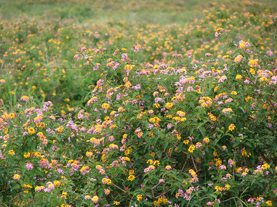 Lantana camara at Polihua Rd., Lanai (Hawaii) (April 04, 2007)PhotoID=starr-070404-6639Photo by Forest and Kim Starr.  If you'd like to use this image, please see their image use policy.More images of this species by these photographers can be found here: search for more Starr images of this species on HEAR.org
