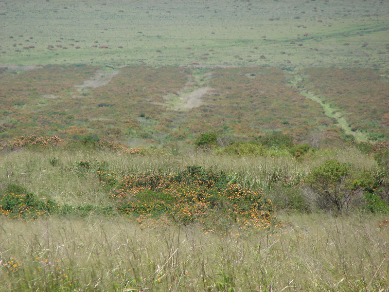 Lantana camara filling abandoned pineapple fields at Manele Rd., Lanai (Hawaii) (April 02, 2007)PhotoID=starr-070402-6263Photo by Forest and Kim Starr.  If you'd like to use this image, please see their image use policy.More images of this species by these photographers can be found here: search for more Starr images of this species on HEAR.org