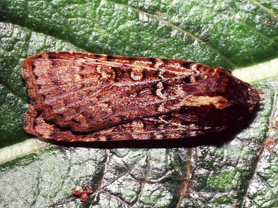 unidentified Lepidoptera, West Maui