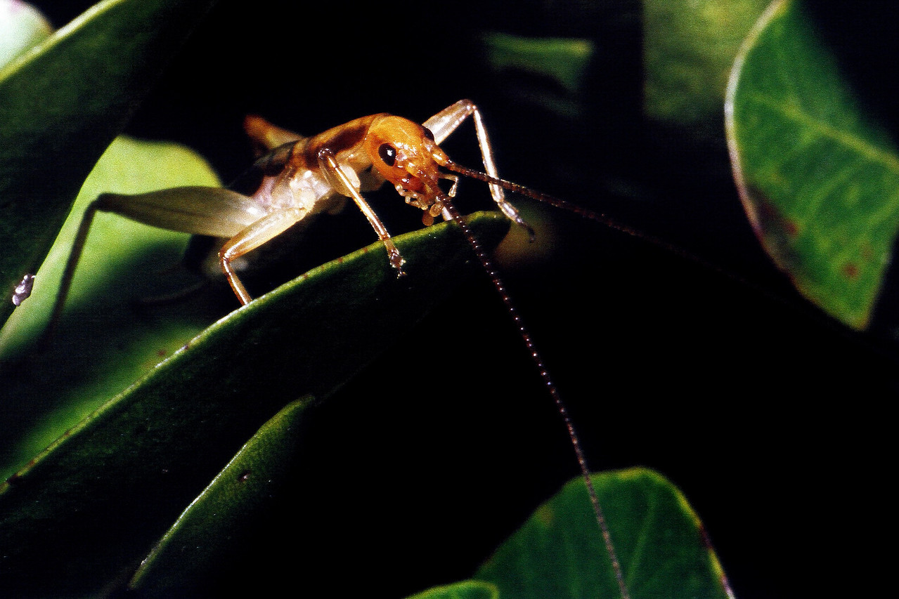 Leptogryllus sp. (Gryllidae), West Maui