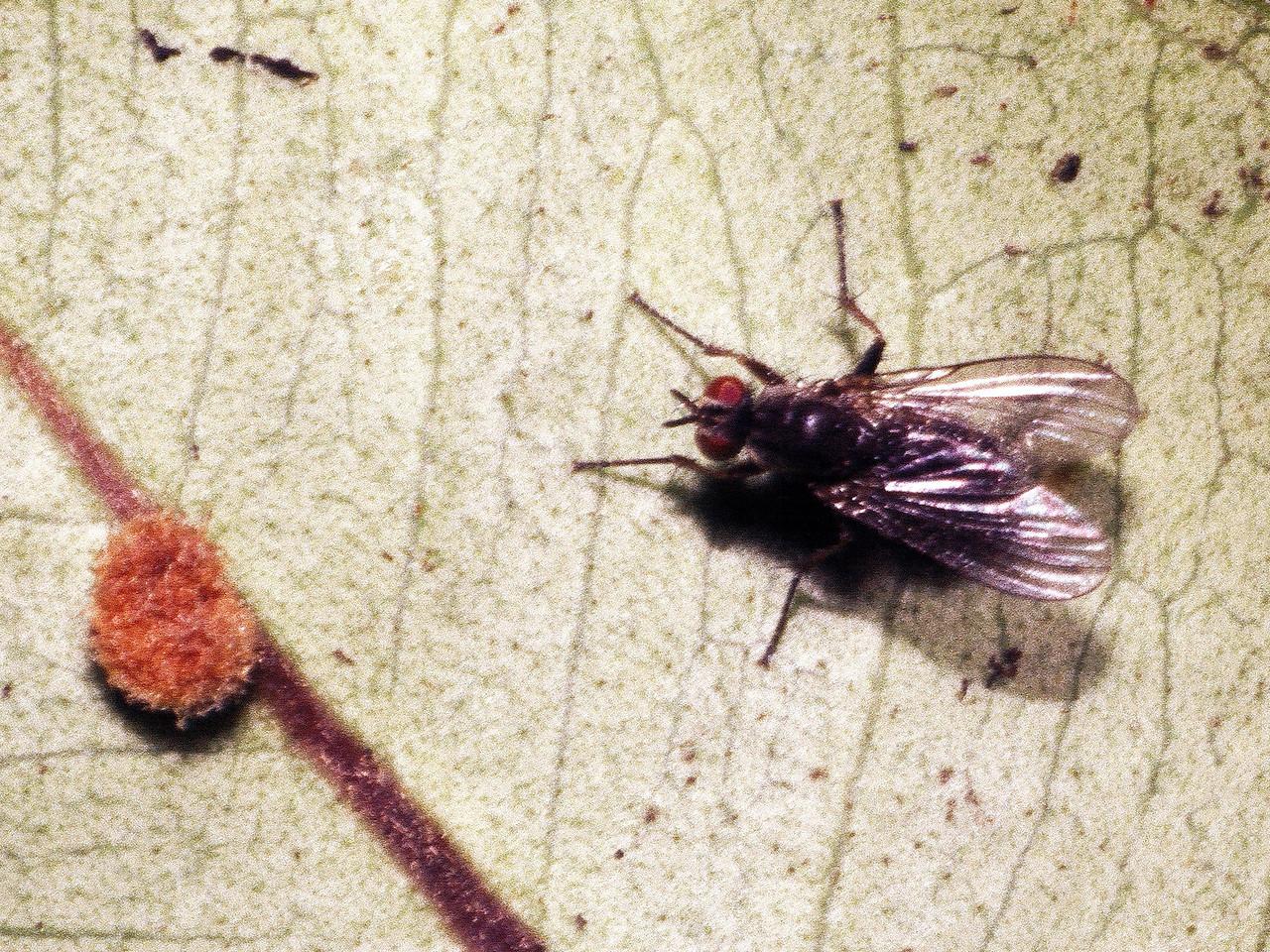 Lispocephala sp. (Diptera: Muscidae) on Melicope clusiifolia, West Maui
