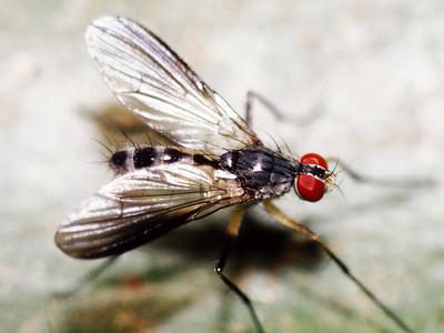 Lispocephala sp. (Diptera: Muscidae) on Metrosideros polymorpha, West Maui