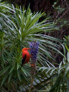 'I'iwi (Vestiaria coccinea) on Lobelia grayana in TNC's Waikamoi Preserve (East Maui) PT20100926_024337