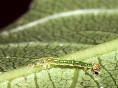 Lophoplusia sp. (Noctuidae) on Clermontia micrantha, West Maui