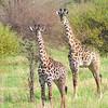 Masai Giraffe (Giraffa tippelskirchi)